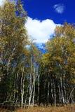 landscape  of autumn birch Stock Images