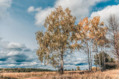 Landscape of the autumn birchs near the road. Stock Image