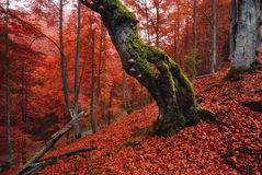 Landscape with an autumn forest, an old lone rotten beech standing on a mountainside covered with a lot of fallen red foliage. royalty free stock images