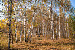 Landscape of the autumn forest. Russia. Landscape of the autumn birches forest. Soft, warm, yellow picture. Russia Stock Images