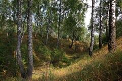 Landscape. Autumn green birch forest Stock Photos