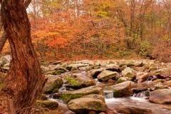 Landscape of autumn maple Stock Images