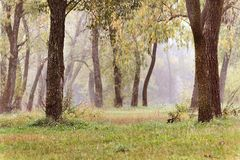 Landscape with autumn and spring foggy morning in the forest. Ye. Llow orange leaves stock photo