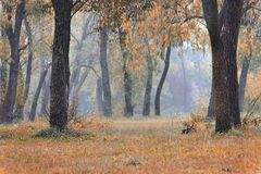 Landscape with autumn and spring foggy morning in the forest. Ye. Llow orange leaves royalty free stock image