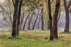 Landscape with autumn and spring foggy morning in the forest. Ye. Llow orange leaves royalty free stock photography