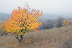 Landscape autumn tree with bright foliage on slope hill in fog in wild nature stock image