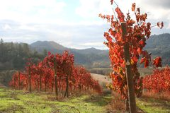 Landscape of Autumn Vineyard. Beautiful, bright, sunny November day in an Oregon vineyard Royalty Free Stock Photos