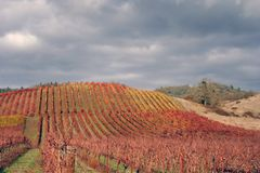 Landscape of Autumn Vineyard. Beautiful, bright, sunny November day in an Oregon vineyard Stock Images