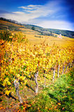 Landscape with autumn vineyards. France, Alsace Stock Image