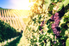 Landscape with autumn vineyards and organic grape on vine branch Royalty Free Stock Photography