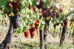 Landscape with autumn vineyards and organic grape on vine branch Stock Photo
