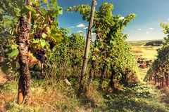 Landscape with autumn vineyards and organic grape on vine branch Royalty Free Stock Images