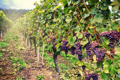 Landscape with autumn vineyards and organic grape Stock Image
