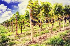 Landscape with autumn vineyards and organic grape Royalty Free Stock Photo