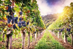 Landscape with autumn vineyards and organic grape Royalty Free Stock Image
