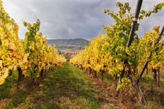 Landscape with autumn vineyards in region Alsace, France. Near village of Mittelbergheim with a cloudy sky royalty free stock images