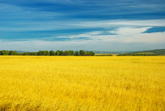 Autumn landscape. Yellow field and blue sky Stock Photo