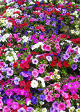 Landscape background with colored flower beds Royalty Free Stock Image