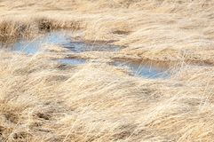 Landscape background of grasses and water at the Great Salt Lake. Fluffy patches of golden grass cover spots of water near the Great Salt Lake royalty free stock photo