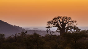 Landscape with Baobab in Kruger National park, South Africa. Specie Adansonia digitata family of Malvaceae Stock Photography