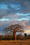 Landscape with baobab. Tree with cloudy sky Royalty Free Stock Images
