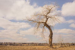 Landscape of a bare bent tree with a cloudy sky. And houses in the background Royalty Free Stock Images