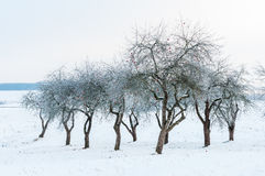Landscape with bare and hoarfrosted apple trees in the garden Royalty Free Stock Images