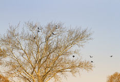 Landscape with a bare tree in early spring and the  birds are rooks Stock Image