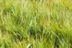 Landscape of Barley Field Stock Photo