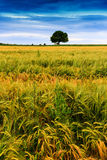 Landscape with barley field Royalty Free Stock Photos