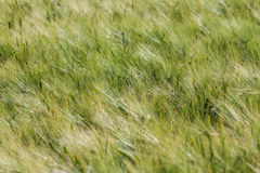 Landscape of Barley Field Royalty Free Stock Image