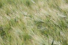 Landscape of Barley Field Stock Photography