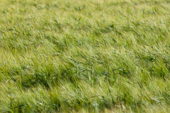 Landscape of Barley Field Royalty Free Stock Photos