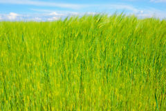 Landscape of barley field in early summer Royalty Free Stock Photo