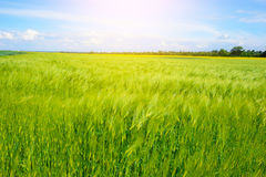 Landscape of barley field in early summer Royalty Free Stock Images