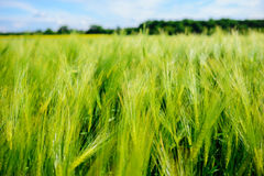 Landscape of barley field in early summer Royalty Free Stock Image