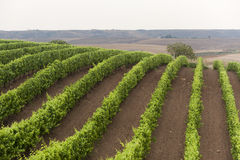 Landscape in Basilicata (Italy): vineyard Stock Image