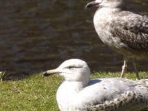 Landscape with beautifu bigl two seagulls on the grass near little lake Royalty Free Stock Photography