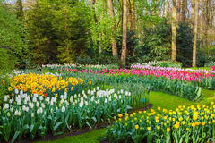 Landscape with beautiful blooming flowers in famous Keukenhof park. In Netherlands. Tulips and hyacinths with trees at sunrise. Nature background Royalty Free Stock Photos