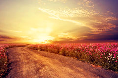 Landscape of beautiful cosmos flower field in sky sunset. Vintage and retro filter effect style Royalty Free Stock Images