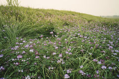 Landscape: A beautiful grass slope covered with alfalfa flowers stock photo