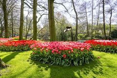 A landscape with a beautiful green lawn, hyacinths and Tulips in many colors in a park in Lisse, Netherlands.  royalty free stock photo