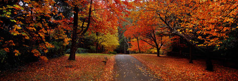 Maple Tree Red-Orange, Flower, and Leaves in The Street/Road in The Fall Season Beautiful Background Photo Wallpaper Royalty Free Stock Photo