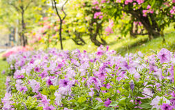 Landscape of beautiful purple petunia in park. Royalty Free Stock Images