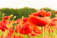 Landscape of beautiful red blooming flowers in summer field Stock Photo