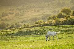 landscape with beautiful white horse grazing at the sunset Stock Photo