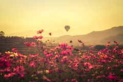 Landscape of  beauty cosmos flowers and the balloons floating in the sky during sunset Vintage Edition. Stock Photos