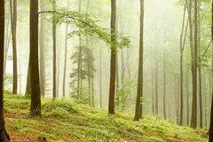 Landscape of beech forest in the fog Royalty Free Stock Photography