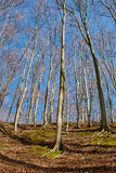 Landscape with beech forest on springtime Royalty Free Stock Photo