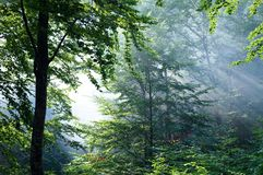 Colorful landscape with beech forest and the sun, with bright rays of light beautifully shining through the trees and morning fog. Landscape with beech forest Royalty Free Stock Photo